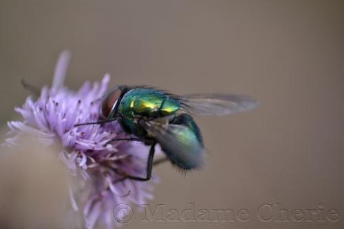Fliege1